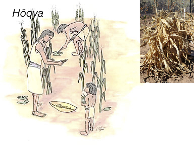 7. Once the plants and ears have dried, the farmers harvest their crops.