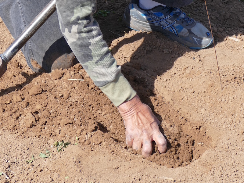 7. The soil around the sides of the hole is loosened, then the hole in filled in with the moist soil that was removed from the bottom of the hole going back in first. The soil is then packed down.